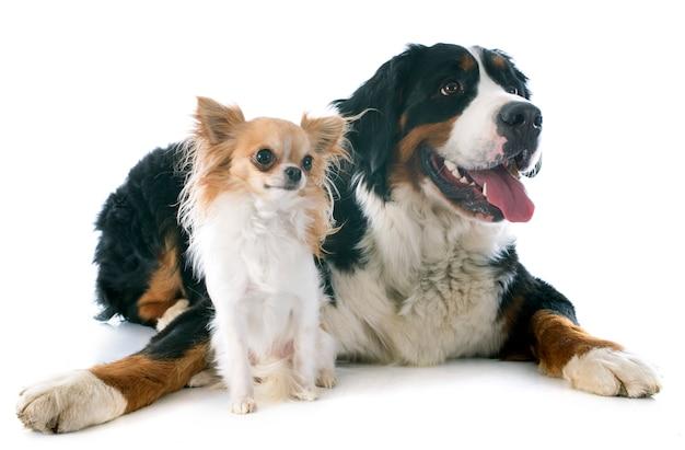 Bernese moutain dog and chihuahua Premium Photo