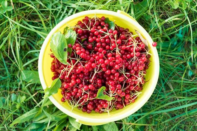 バケツの赤いビバナムの果実 無料写真