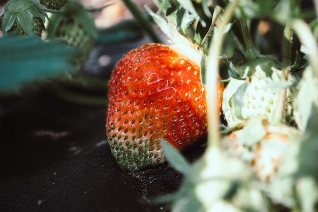 Berry strawberries close-up. beautiful natural background. Premium Photo