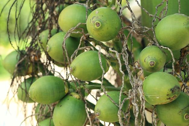 Betel palm on tree Premium Photo