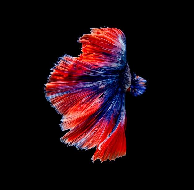 Betta fish, siamese fighting , betta splendens isolated on black background Premium Photo