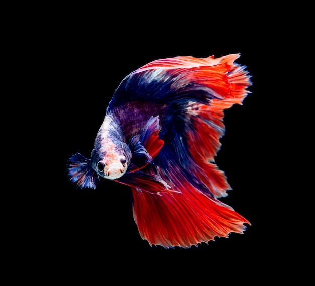 Betta fish, siamese fighting , betta splendens isolated on black background Premium Photo