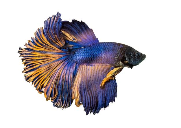 Бетта рыбы, сиамские боевые рыбы, бетта splendens (halfmoon бетта) изолированные Premium Фотографии