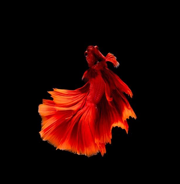 ベタの魚、シャムの戦いの魚、分離されたベタの素晴らしさ Premium写真