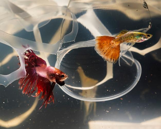 Бетта рыба пытается убежать от пластического загрязнения Бесплатные Фотографии