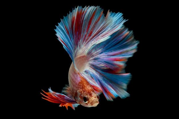 Betta fish Free Photo