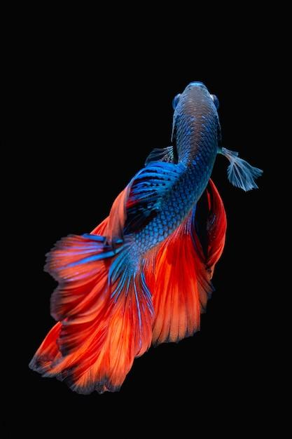 Бетта рыба Premium Фотографии