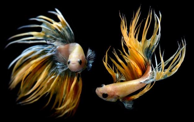 Betta or saimese fighting fish. Premium Photo
