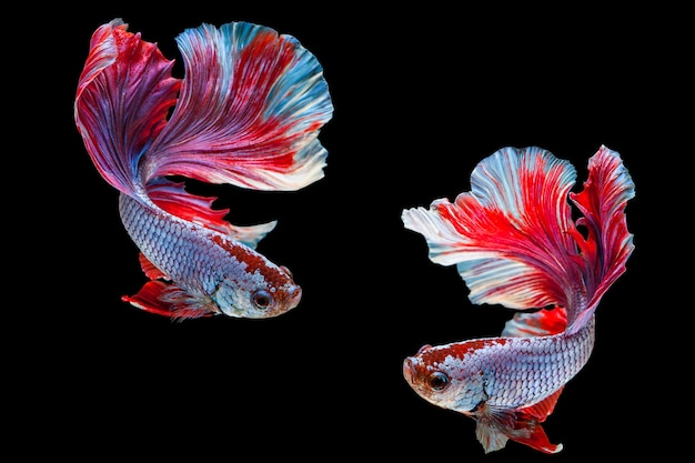 Betta Siamese Fighting Fish Thai Popular Aquarium Fish Red White