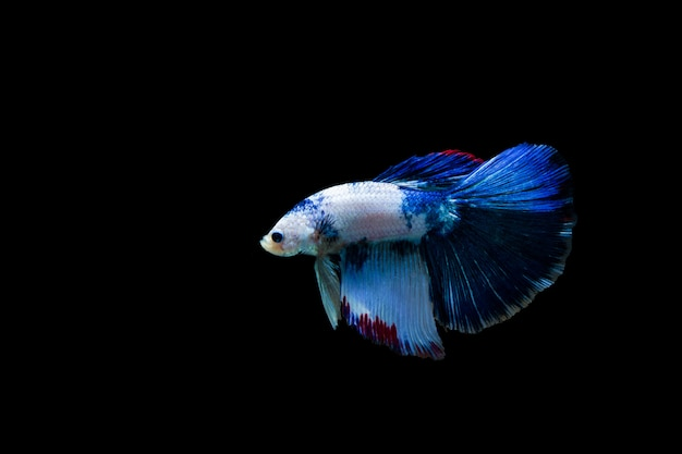Betta splendens halfmoon,colorful siamese fighting fish,fighting fish on black background, Premium Photo