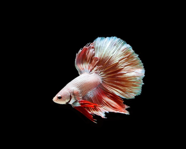 Betta splendens isolated on black background Premium Photo