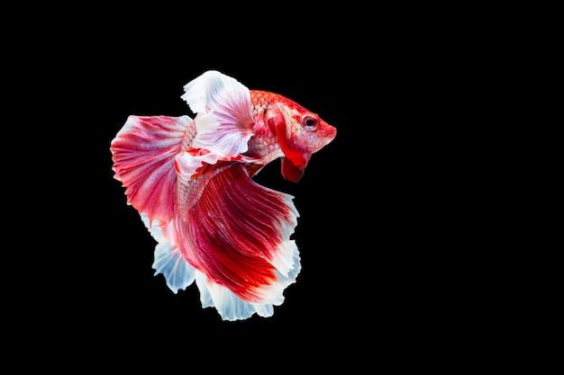 Betta splendens, siamese fighting fish Premium Photo