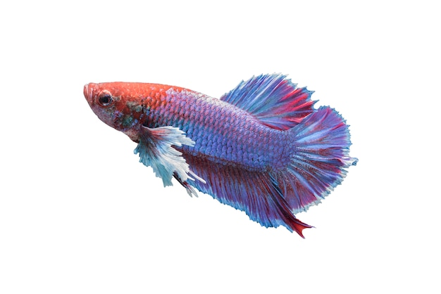 白い背景で隔離されたbetta魚 無料写真