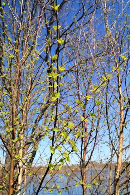 枝の春白bi Premium写真
