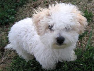 Bichon Frise Puppy Free Photo