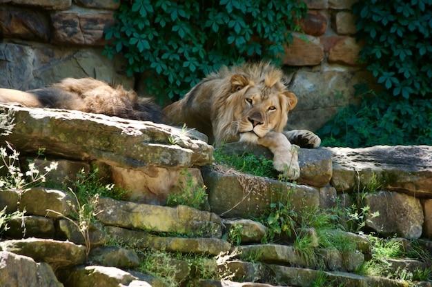 木陰で休んでいる大きなアフリカのライオン。 Premium写真