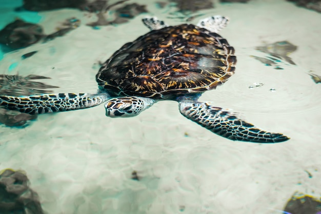 Big beautiful sea turtle in the clear water. Premium Photo