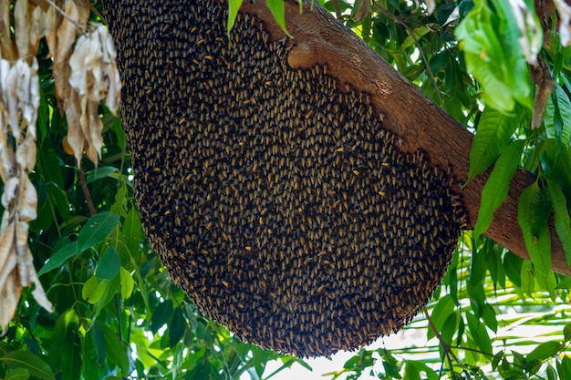 Big bee hive honeycomb on branch of tree in nature Premium Photo
