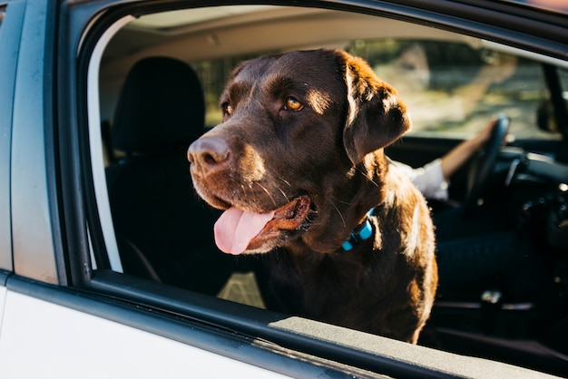Big black dog in car Free Photo