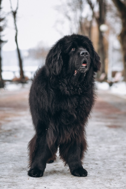 Big black dog outside in park Free Photo
