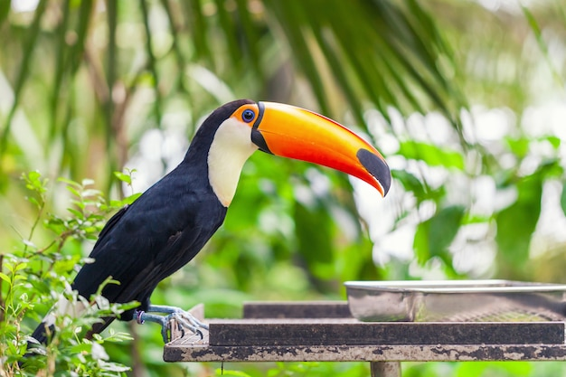 Big black toucan with an orange beak sits on a perch Premium Photo
