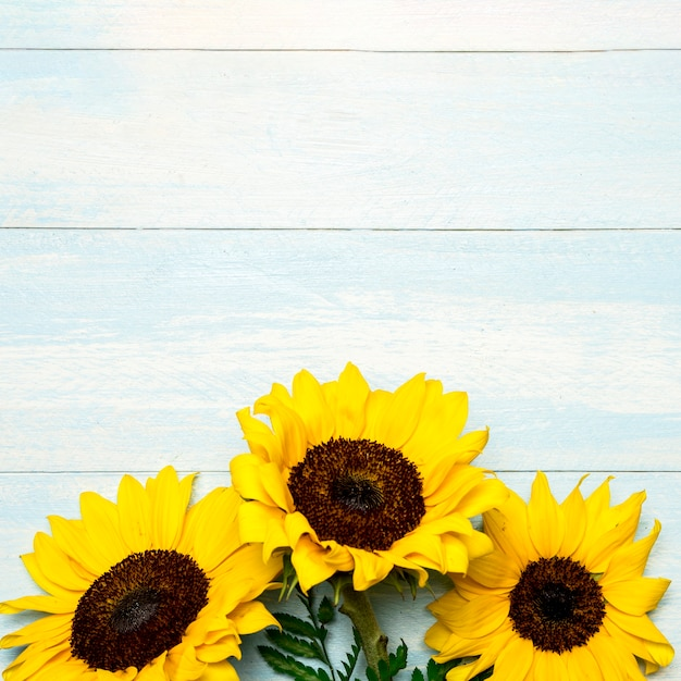 Big bright sunflowers on light blue surface Free Photo