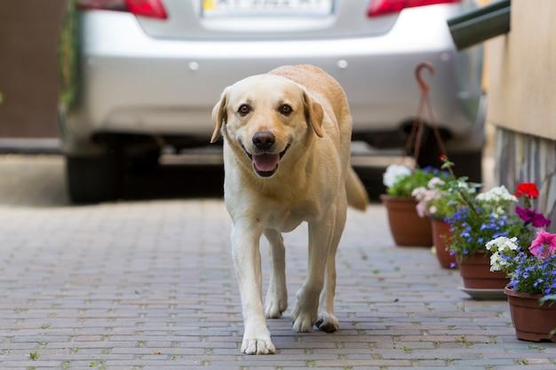 Большая умная светло-желтая коричневая собака лабрадор-ретривер, стоящая перед серебряным блестящим автомобилем в мощеном дворе в яркий солнечный летний день. охрана, защита дружба, верность и концепция лояльности. Premium Фотографии