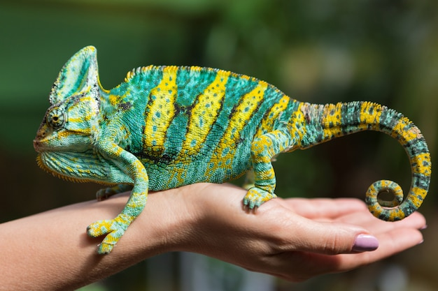 A big colorful chameleon is sitting on a female hand, on a background of greenery, an exotic animal Premium Photo