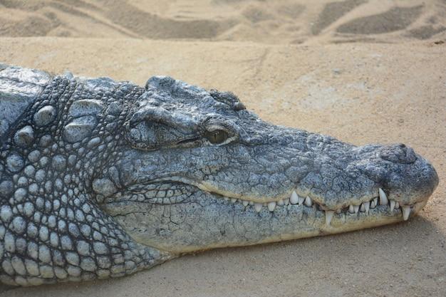 巨大な歯を持つ砂の上の大きなワニ 無料写真