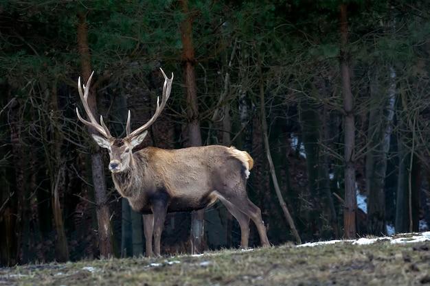 森の中の大きな鹿 Premium写真