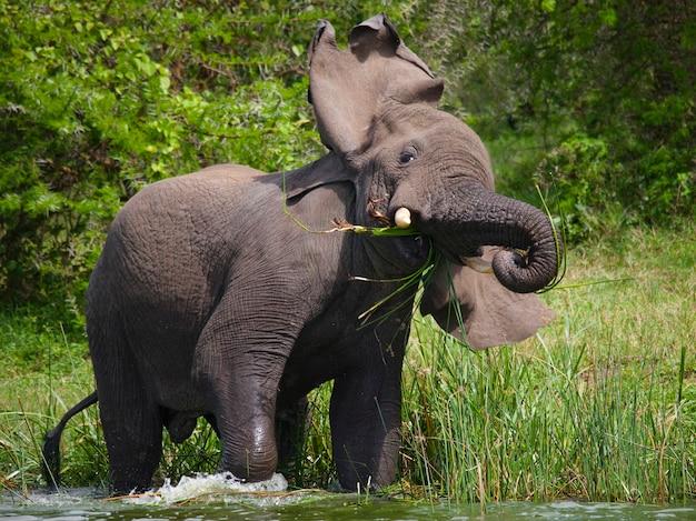 大きな象が水中に立って怒っています。 Premium写真