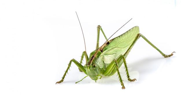 Big green grasshopper Premium Photo