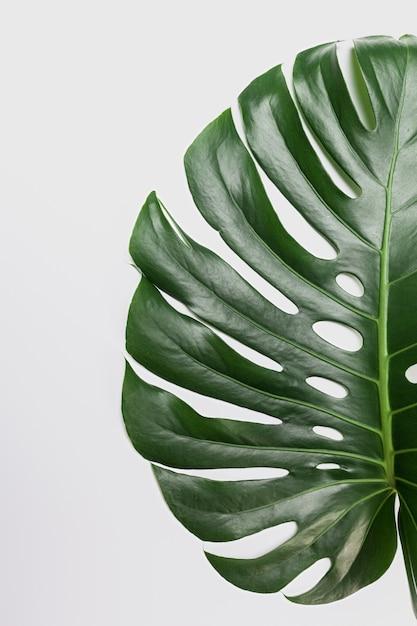 Big green leaf of monstera plant on white background Premium Photo