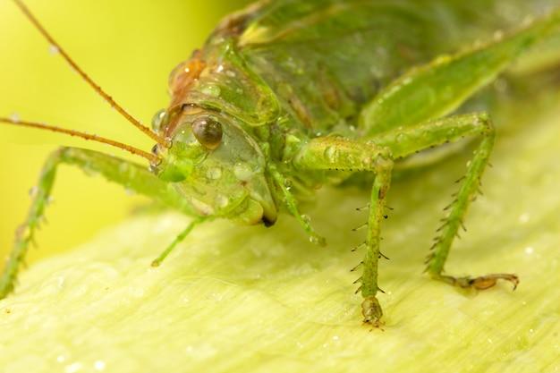Большая зеленая саранча на листе Premium Фотографии