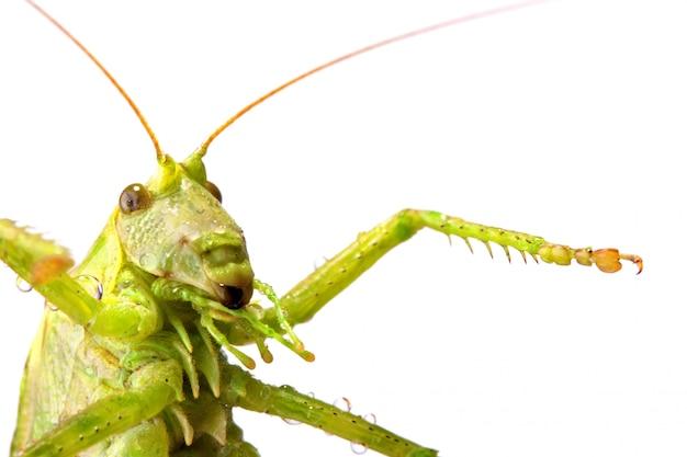 Большая зеленая саранча Premium Фотографии