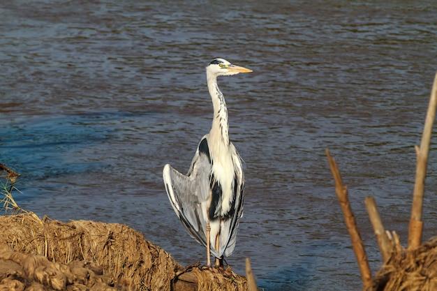 Большая серая цапля у берега реки. танзания, африка Premium Фотографии