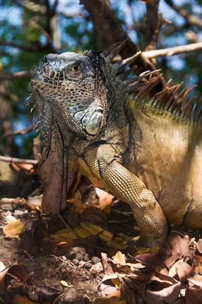 Grande iguana Foto Gratuite
