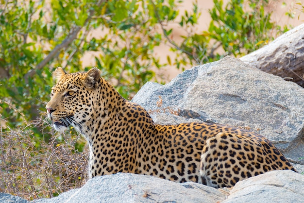 Big leopard in attacking position ready for an ambush between the rocks and bush Premium Photo