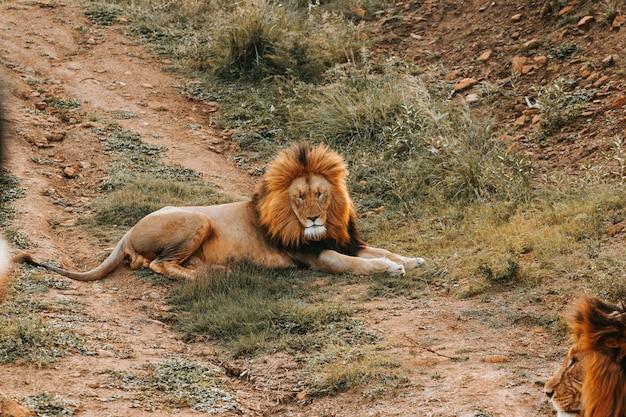 Большой лев лежит на земле Бесплатные Фотографии