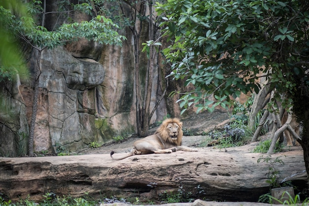 Big lion lying on the stone in daytime resting. animals concept. Free Photo