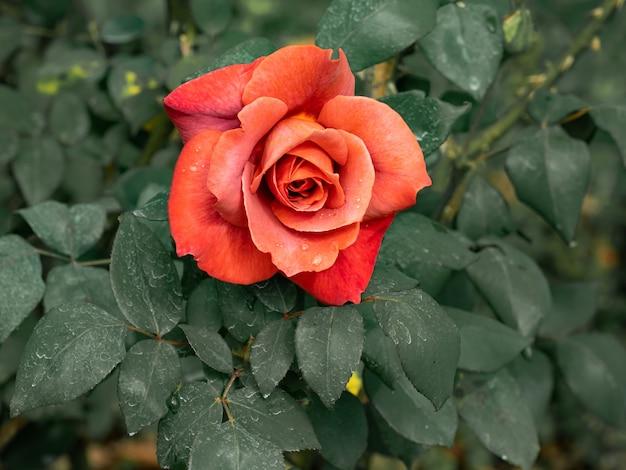 The big orange rose is beautiful Premium Photo