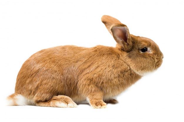 Big red rabbit, isolate, easter rabbit Premium Photo