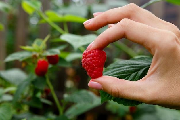 ラズベリーの茂みの背景に手に大きな赤いラズベリー Premium写真