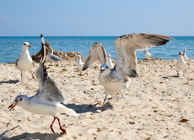 Big sea gulls run after each other on the sandy shore of the black sea coast Premium Photo