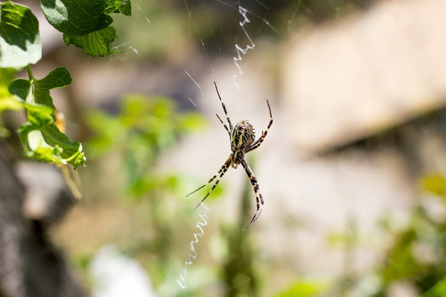 Big spider close-up on a web in nature Premium Photo