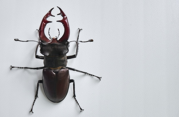 Большой жук-олень. Premium Фотографии