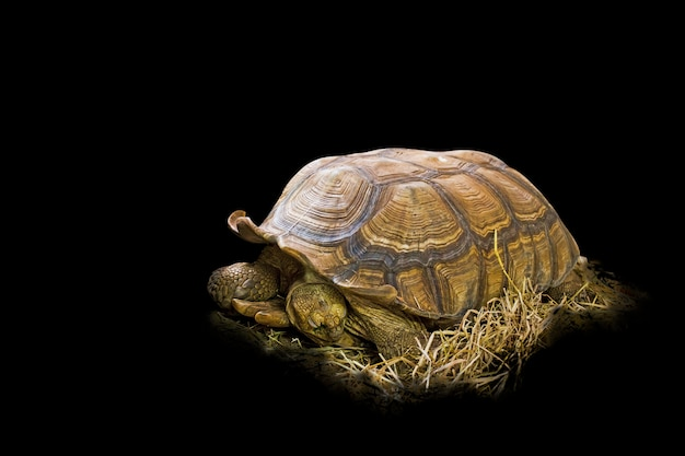 Big sulcata tortoise on the thatch in black Premium Photo