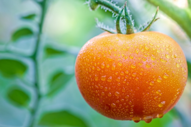Big tomato and drops of water in organic farms with morning sunlight. Premium Photo