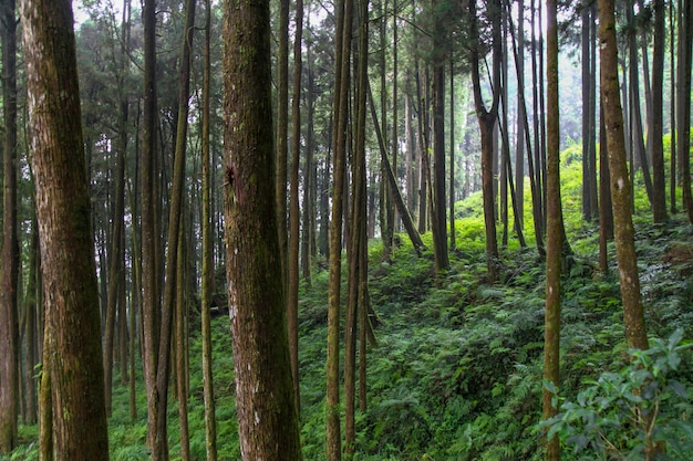 Big tree at alishan national park area in taiwan. Premium Photo
