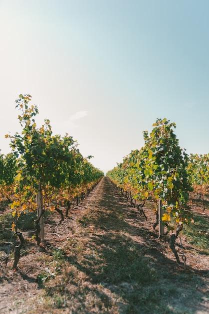 Большой виноградник под красивым ярким небом в солнечный день Бесплатные Фотографии